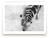 Zebra from Above