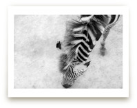 Zebra from Above