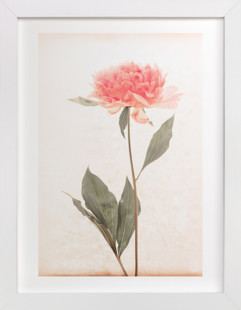 a pink peony standing gracefully Art Print