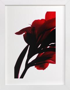 Canna 4 Art Print