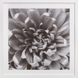 Chrysanthemum III Art Print
