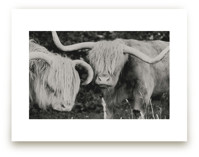 Highland Cows by Amy Carroll