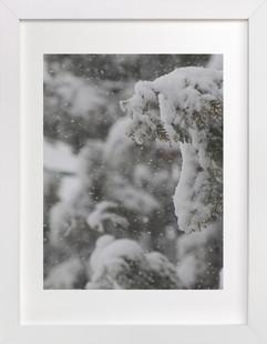 Snowy Cedars Art Print