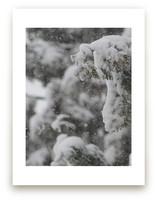 Snowy Cedars by Erin Sadowski