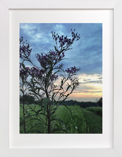 Ironweed  Art Print