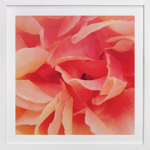 sherbet rose 2  Art Print
