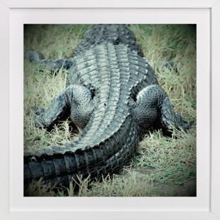 Basking Florida Gator  Art Print