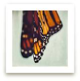 Monarch Study #5 by Stacy Kron