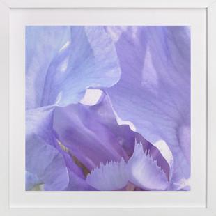 lilac iris  Art Print