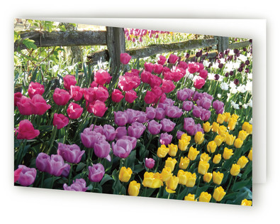 Tulips Along Fence Self-Launch Greeting Cards