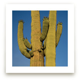 Two Saguaro Cactus by Kathy Van Torne