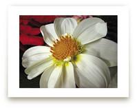 Pure White Dahlia by A MAZ Design