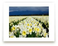 Cheerful Daffs by Jan Kessel